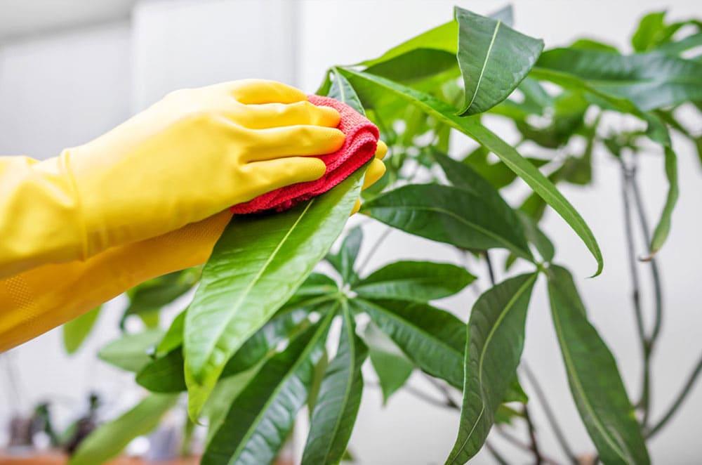 プロによる観葉植物のメンテナンス