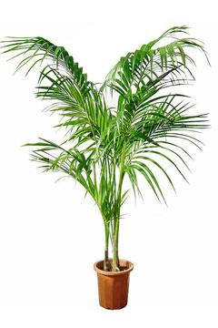 高さ2.0m以上の観葉植物レンタル(特大鉢)