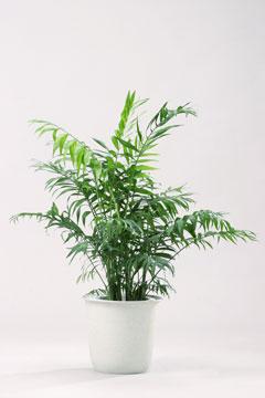 高さ60cm以上の観葉植物レンタル(中鉢)