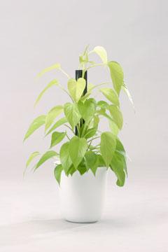 高さ30cm以上の観葉植物レンタル(小鉢)