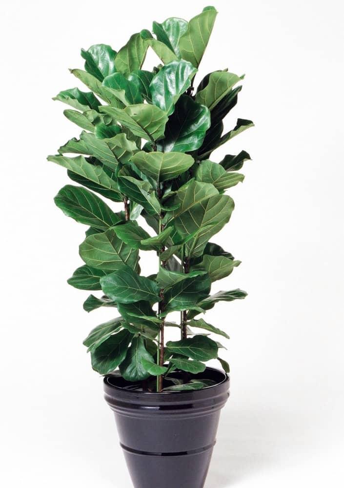 観葉植物のカシワバゴム