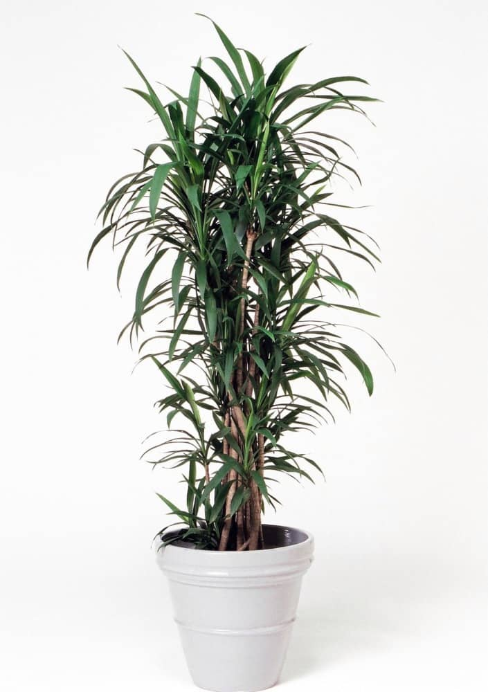 観葉植物のコルディリネストリクタ