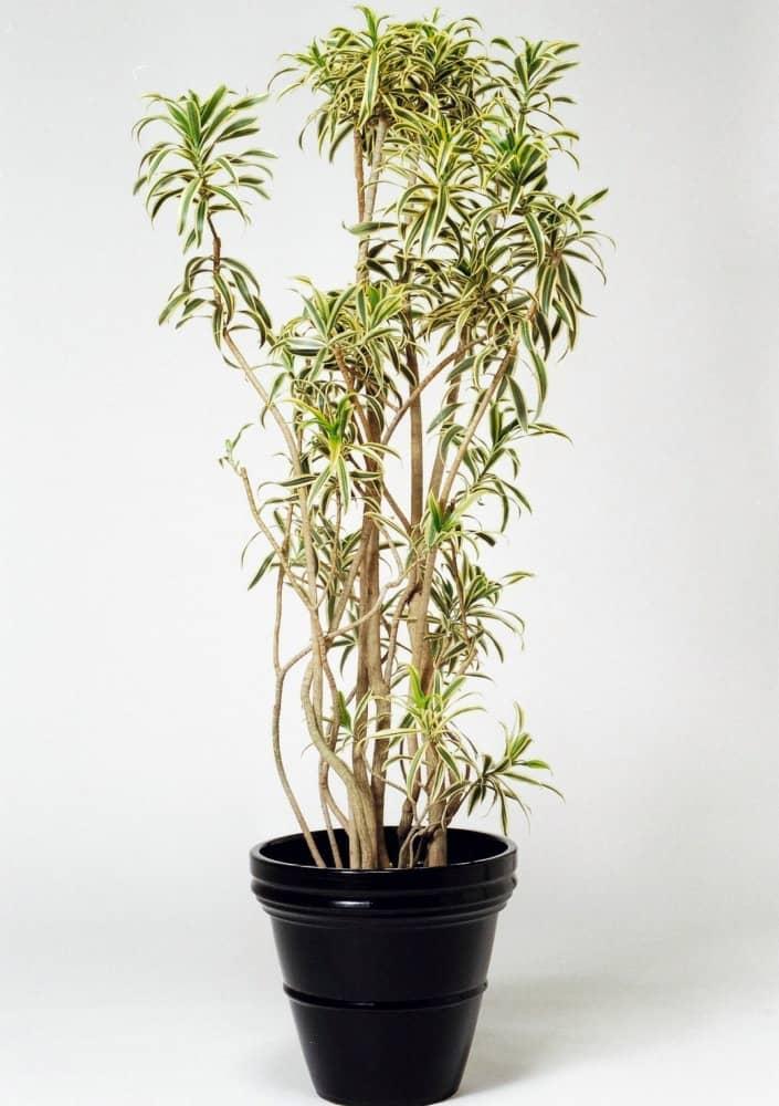 観葉植物のソングオブインディア