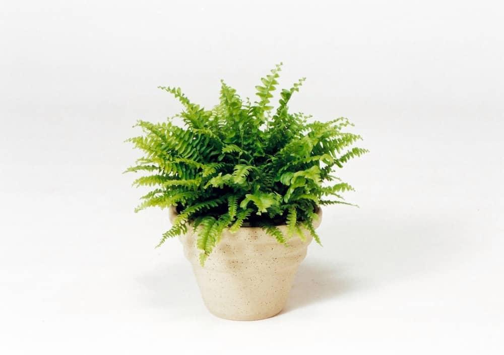 観葉植物のツデー
