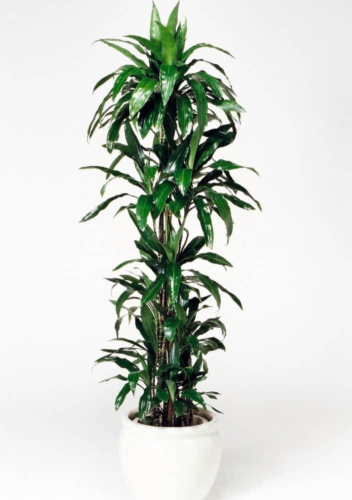 観葉植物のドラセナアオワーネッキ(大)