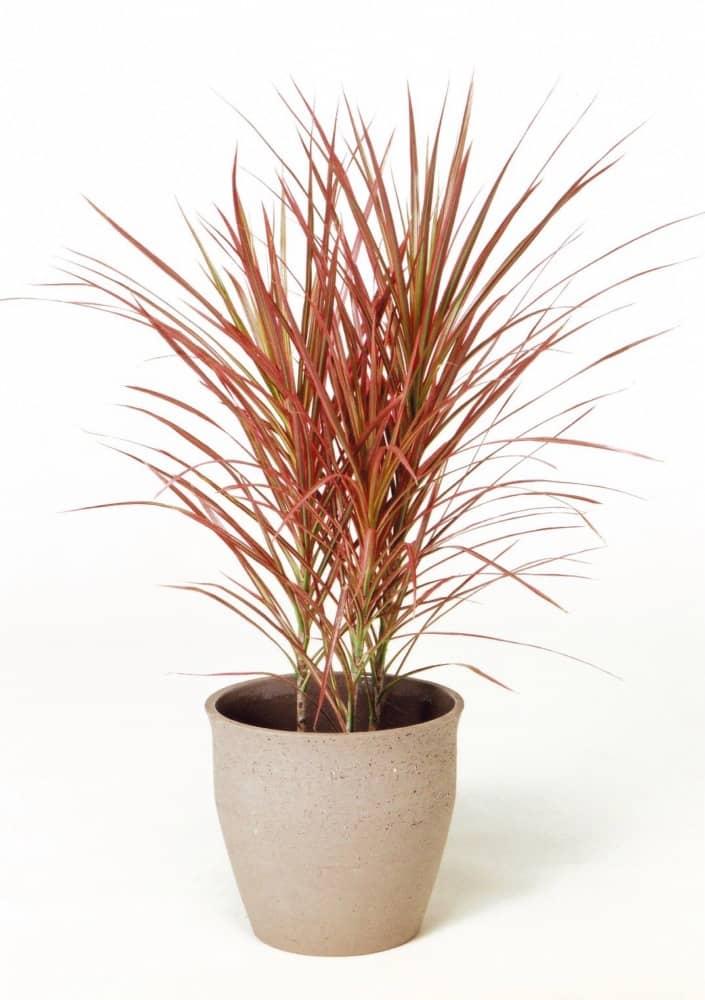 観葉植物のドラセナコンシナレインボー