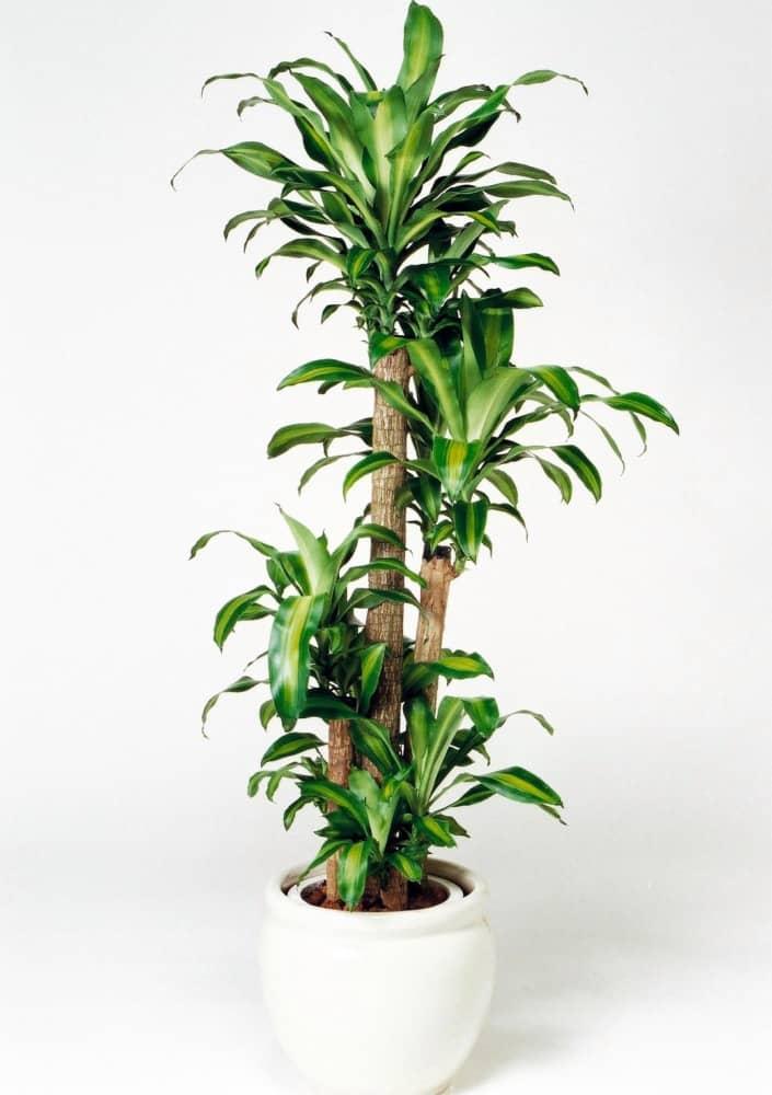 観葉植物のドラセナマッサンゲアナ