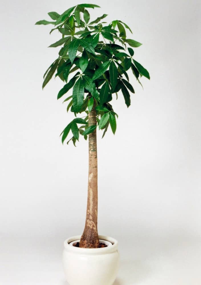 観葉植物のパキラ