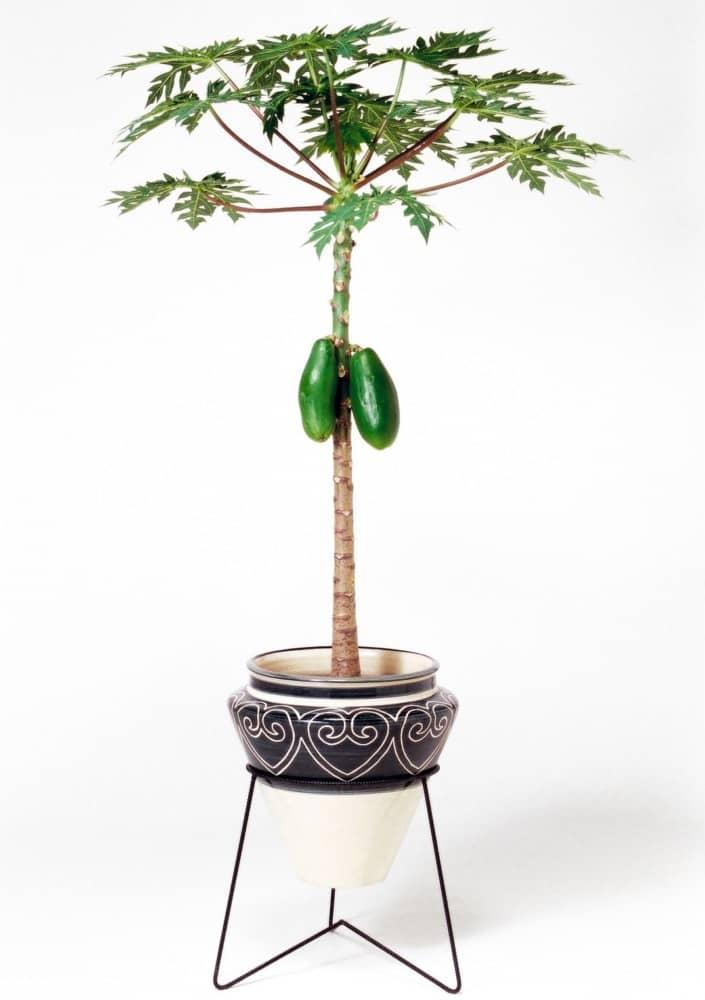 観葉植物のパパイヤ