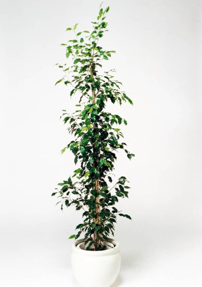 観葉植物のフィカスベンジャミン