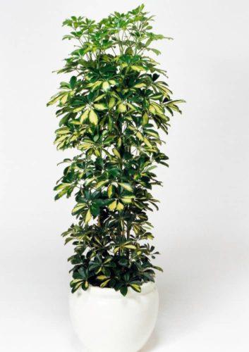 観葉植物のフイリホンコンカポック