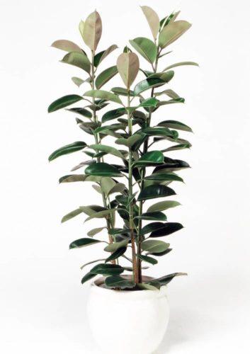観葉植物のフィカスロブスター
