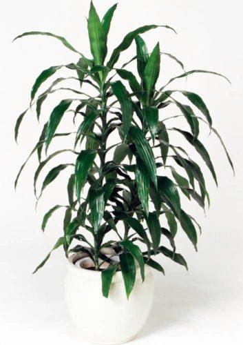 観葉植物のドラセナアオワーネッキ(中)