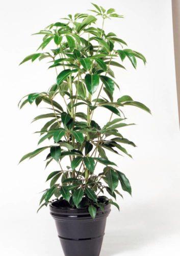 観葉植物のツピダンサス