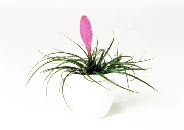 観葉植物のチランジア