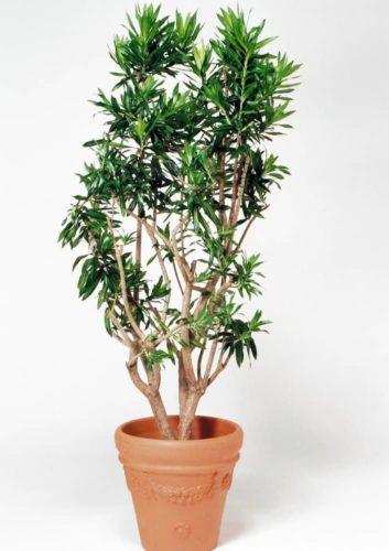 観葉植物のソングオブジャマイカ