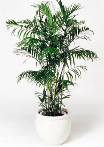 観葉植物のセフリジ