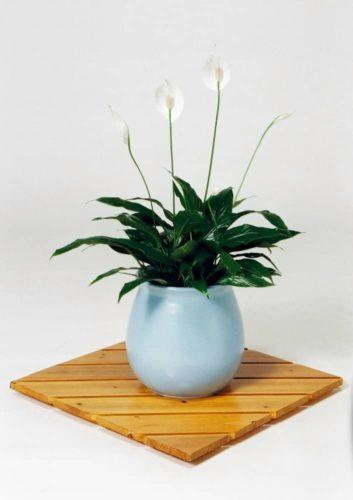 観葉植物のスパティフィラム