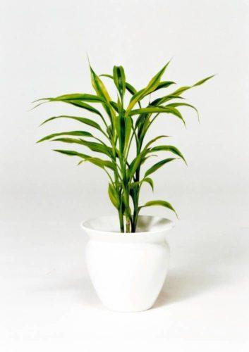 観葉植物のサンデリアーナ