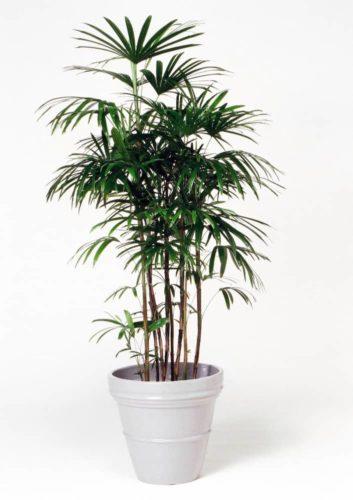 観葉植物のシュロチク