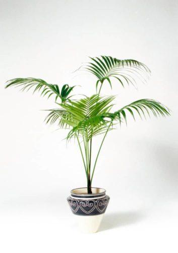 観葉植物のケンチャヤシ