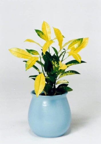 観葉植物のクロトン
