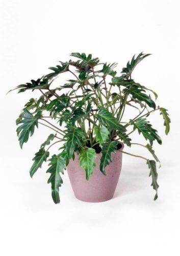 観葉植物のクッカバラ
