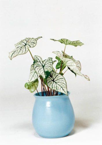 観葉植物のカラジューム