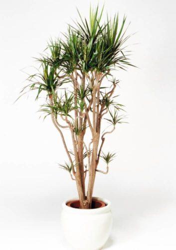 観葉植物のドラセナコンシナ