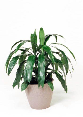 観葉植物のドラセナアオワーネッキ(小)
