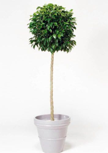 観葉植物のフィカスベンジャミンS