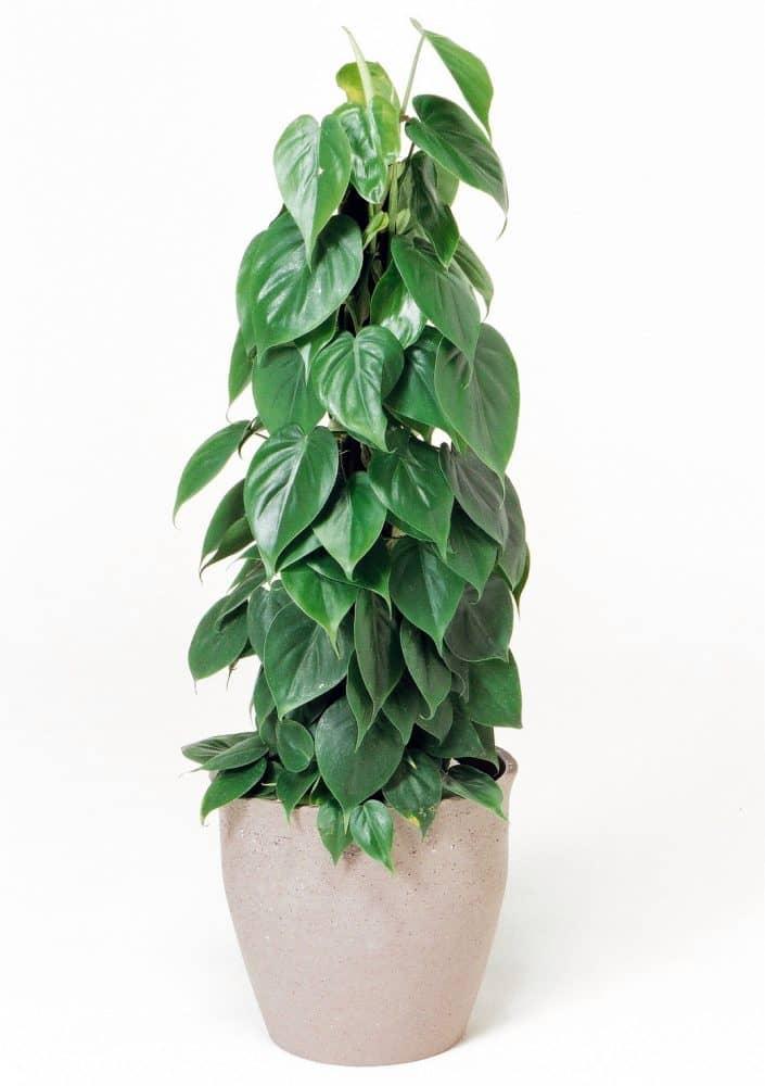 観葉植物のオキシカルジウム
