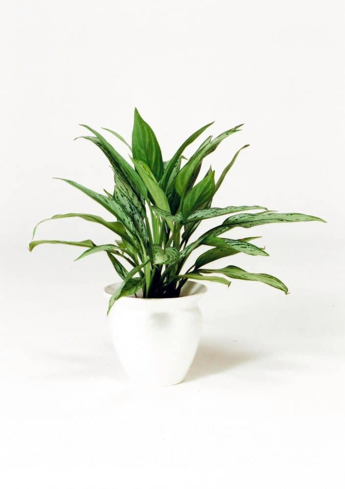 観葉植物のアグラオネマ