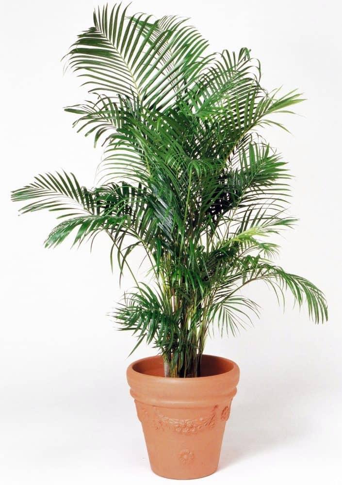 観葉植物のアレカヤシ