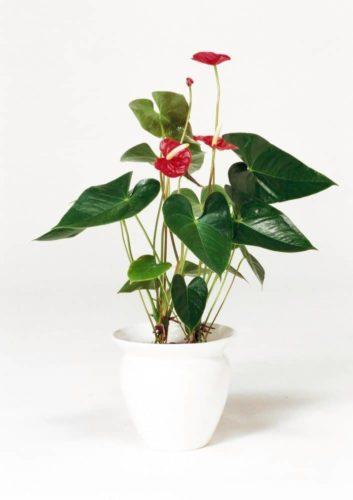観葉植物のアンスリューム