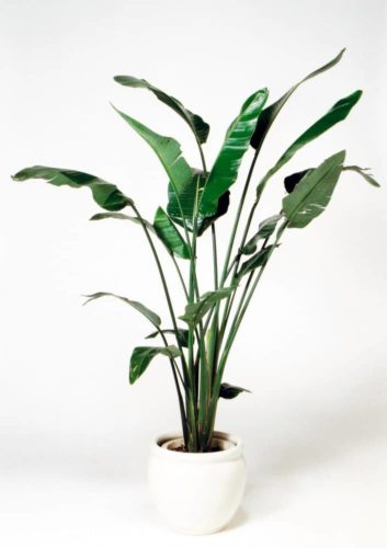 観葉植物のオーガスタ
