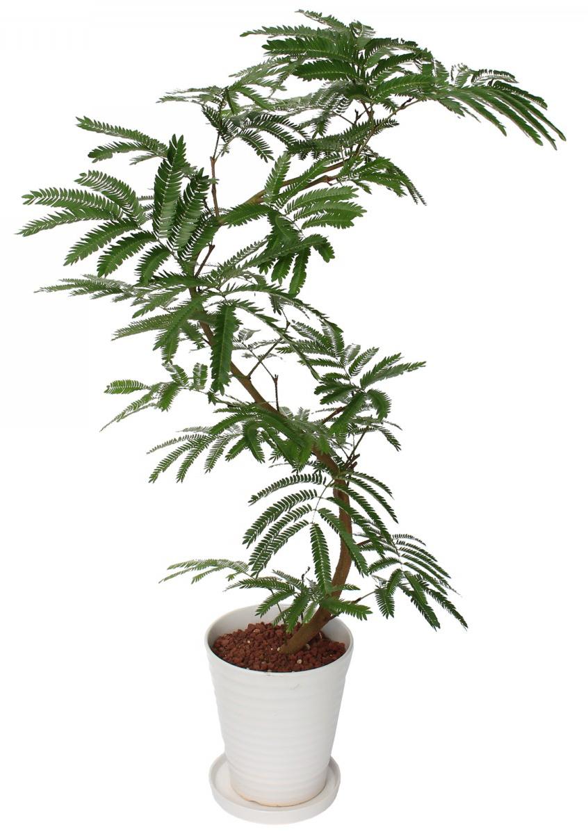 観葉植物のエバーフレッシュ