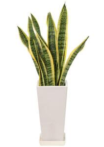 観葉植物のサンスベリア