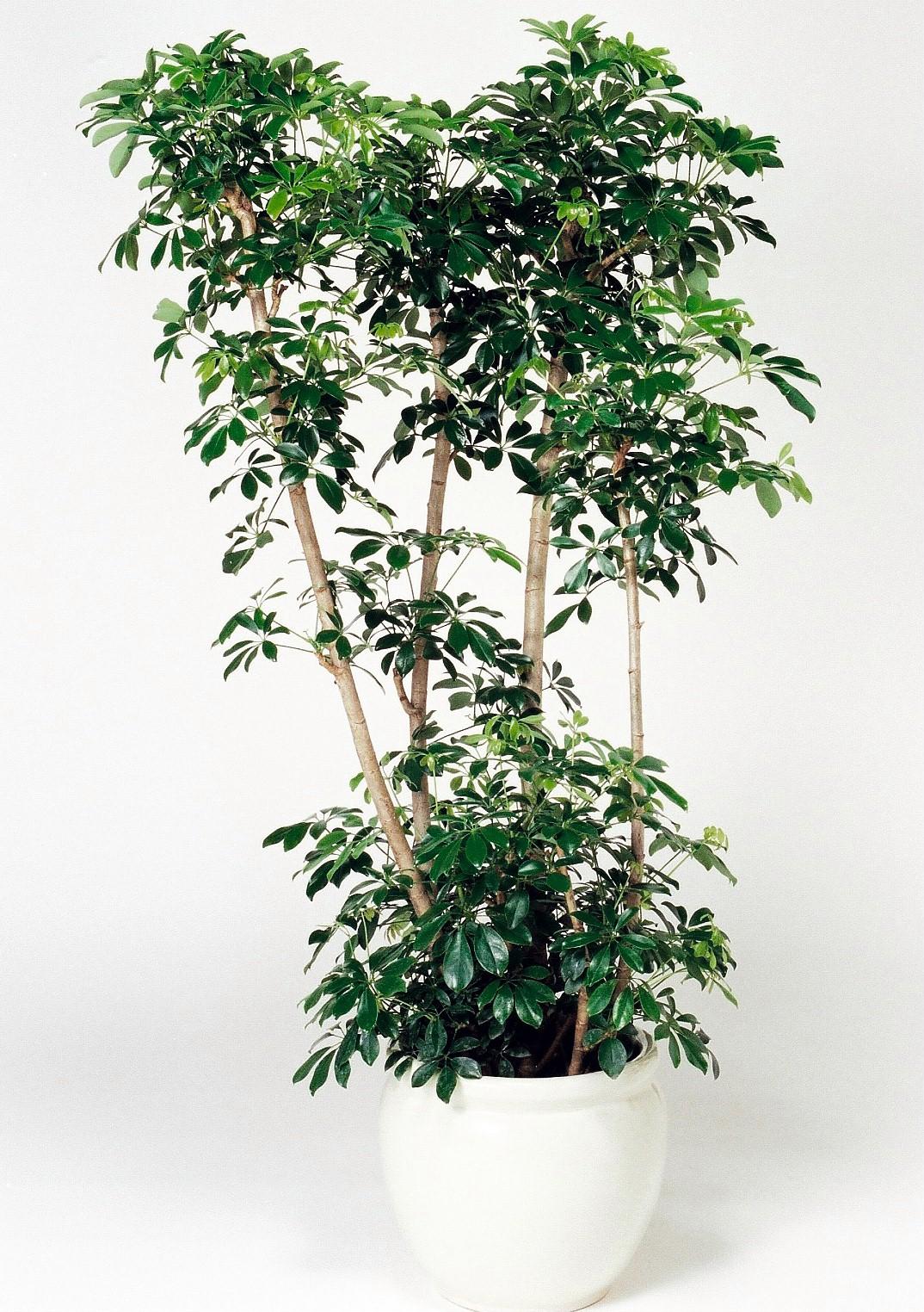 観葉植物のホンコンカポック