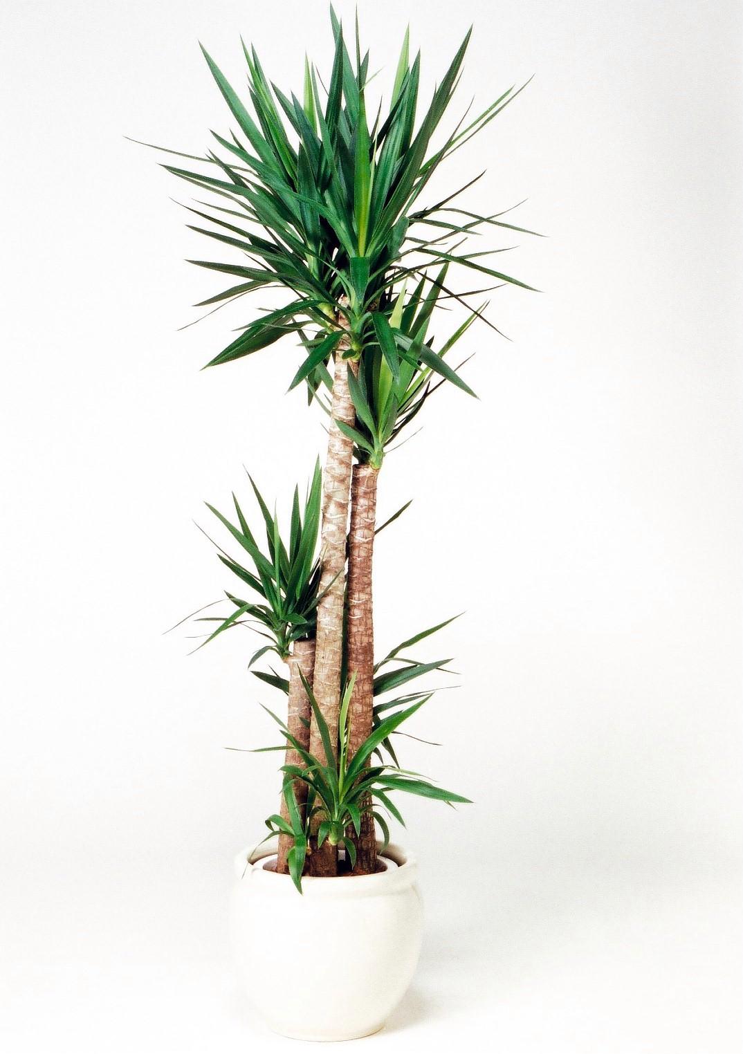 観葉植物のユッカ