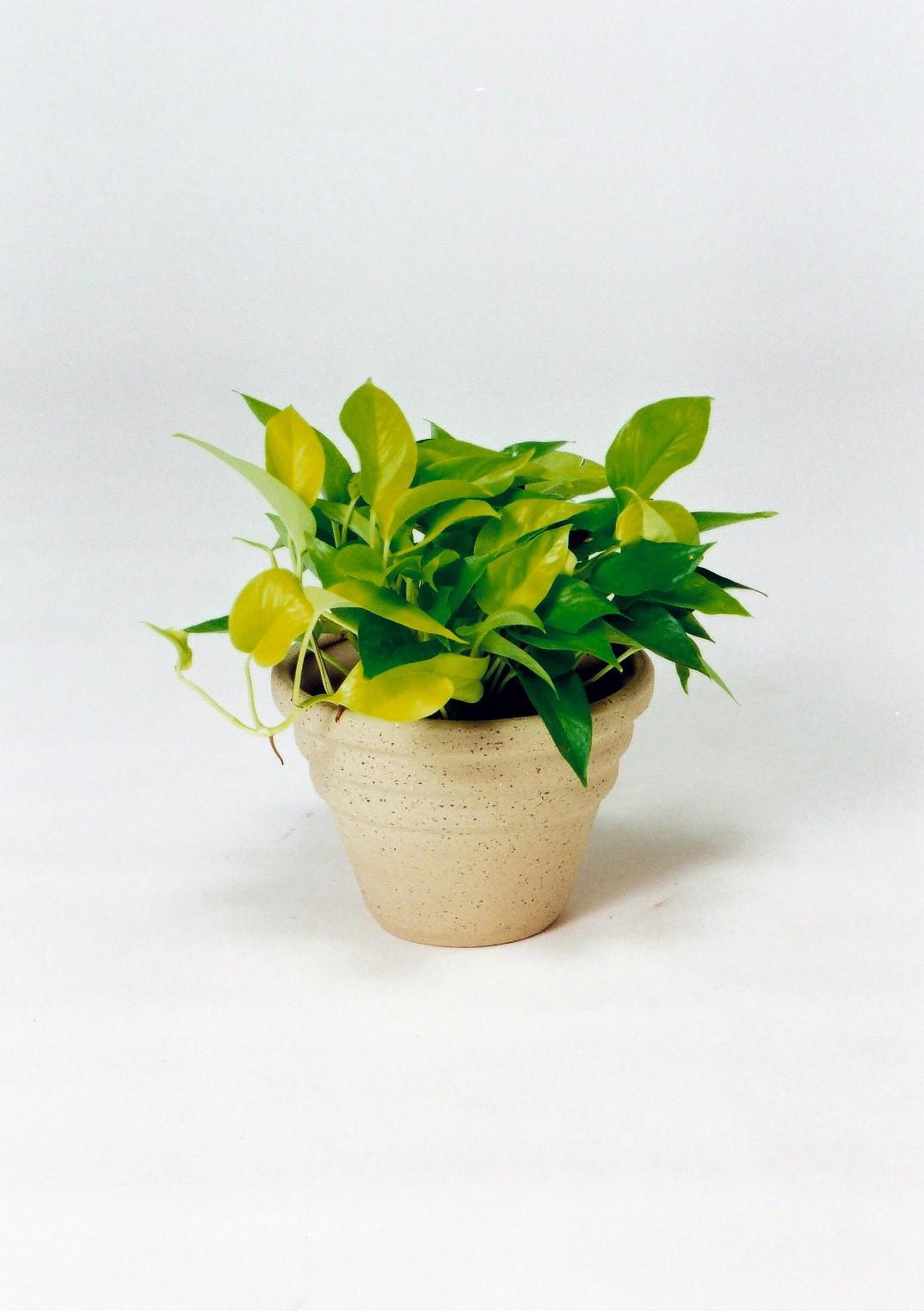 観葉植物のライムポトス