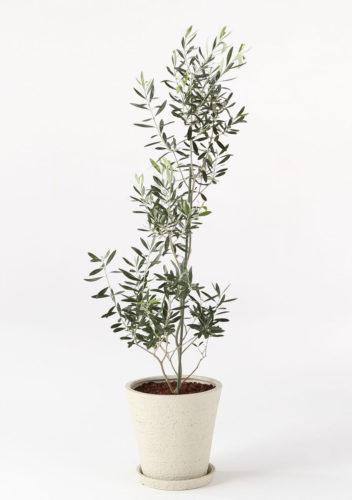 観葉植物のオリーブ