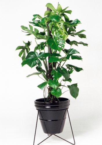 観葉植物のモンステラ
