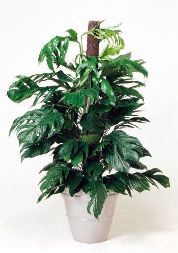 観葉植物のマングーカズラ