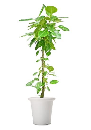 観葉植物のアルテシマゴム