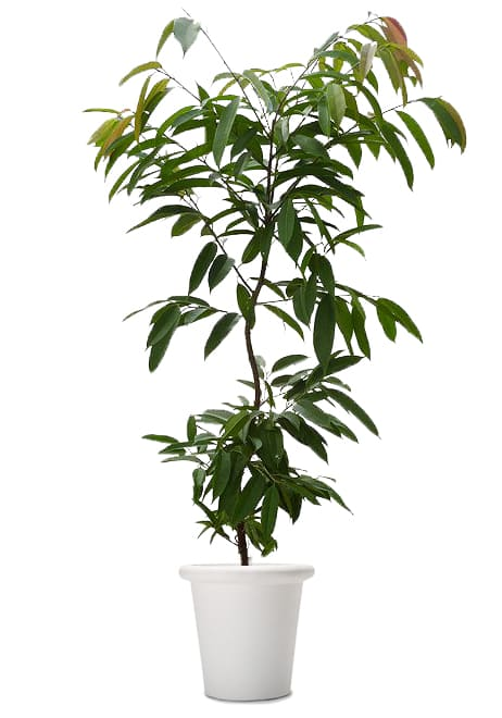 観葉植物のショウナンゴム