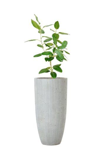 観葉植物のベンガルゴムの木
