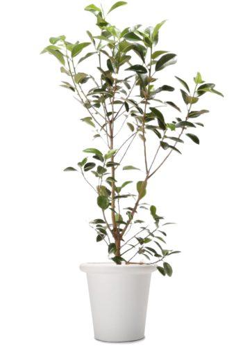 観葉植物のフランスゴムの木