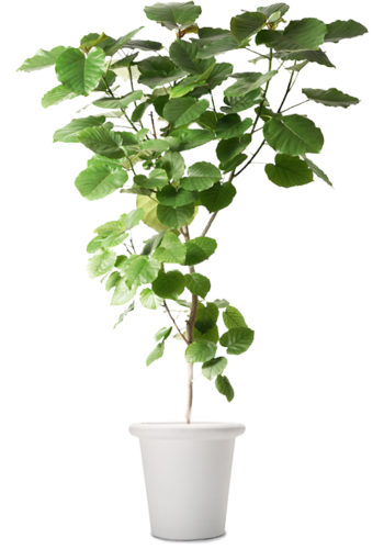 観葉植物のウンベラータ