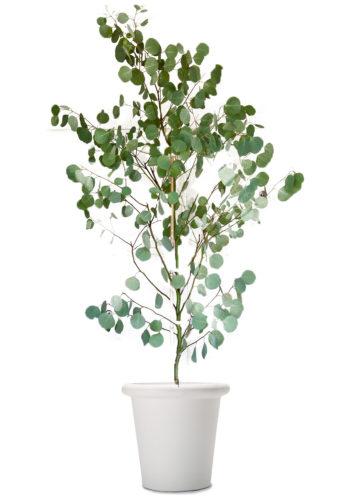 観葉植物のユーカリポポラス